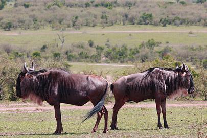 Fotoalbum von Malindi.info - 3 Tage Safari Maasai Mara 2017 [ Foto 2 von 104 ]