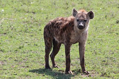 Fotoalbum von Malindi.info - 3 Tage Safari Maasai Mara 2017 [ Foto 6 von 104 ]
