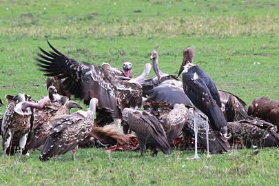 Fotoalbum von Malindi.info - 3 Tage Safari Maasai Mara 2017 [ Foto 9 von 104 ]