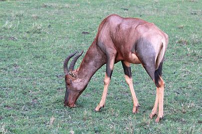 Fotoalbum von Malindi.info - 3 Tage Safari Maasai Mara 2017 [ Foto 12 von 104 ]