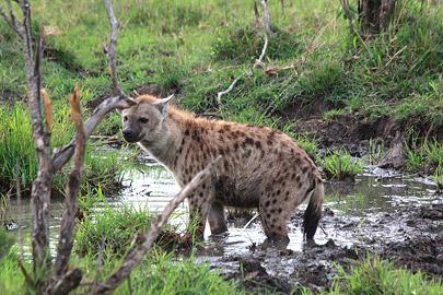 Fotoalbum von Malindi.info - 3 Tage Safari Maasai Mara 2017 [ Foto 22 von 104 ]