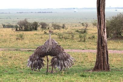 Fotoalbum von Malindi.info - 3 Tage Safari Maasai Mara 2017 [ Foto 23 von 104 ]