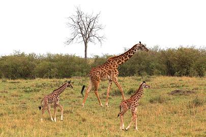 Fotoalbum von Malindi.info - 3 Tage Safari Maasai Mara 2017 [ Foto 28 von 104 ]