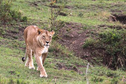 Fotoalbum von Malindi.info - 3 Tage Safari Maasai Mara 2017 [ Foto 29 von 104 ]