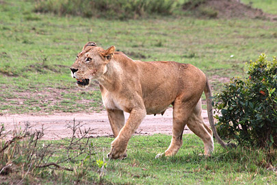 Fotoalbum von Malindi.info - 3 Tage Safari Maasai Mara 2017 [ Foto 31 von 104 ]
