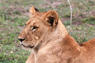 Fotoalbum von Malindi.info - 3 Tage Safari Maasai Mara 2017 [ Foto 32 von 104 ]