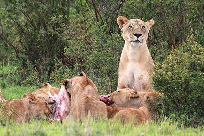 Fotoalbum von Malindi.info - 3 Tage Safari Maasai Mara 2017 [ Foto 40 von 104 ]