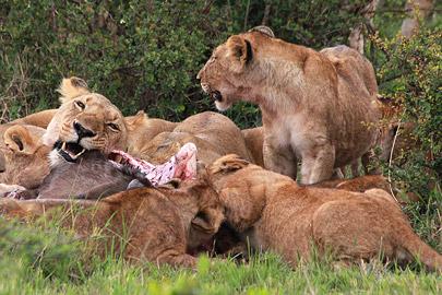 Fotoalbum von Malindi.info - 3 Tage Safari Maasai Mara 2017 [ Foto 42 von 104 ]