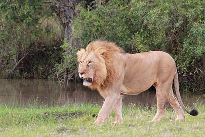 Fotoalbum von Malindi.info - 3 Tage Safari Maasai Mara 2017 [ Foto 43 von 104 ]