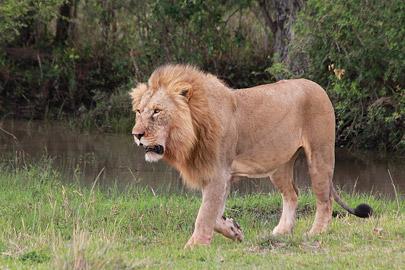 Fotoalbum von Malindi.info - 3 Tage Safari Maasai Mara 2017 [ Foto 44 von 104 ]