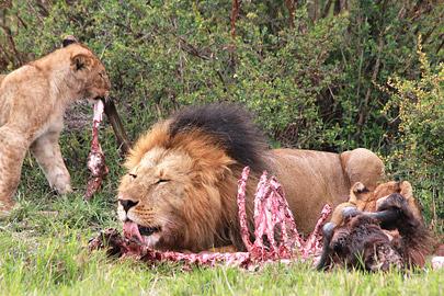 Fotoalbum von Malindi.info - 3 Tage Safari Maasai Mara 2017 [ Foto 50 von 104 ]
