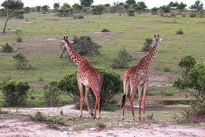 Fotoalbum von Malindi.info - 3 Tage Safari Maasai Mara 2017 [ Foto 57 von 104 ]
