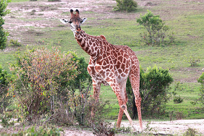 Fotoalbum von Malindi.info - 3 Tage Safari Maasai Mara 2017 [ Foto 58 von 104 ]