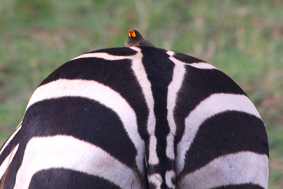 Fotoalbum von Malindi.info - 3 Tage Safari Maasai Mara 2017 [ Foto 66 von 104 ]