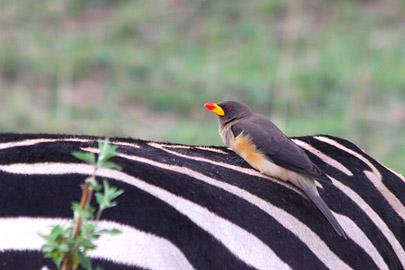 Fotoalbum von Malindi.info - 3 Tage Safari Maasai Mara 2017 [ Foto 67 von 104 ]