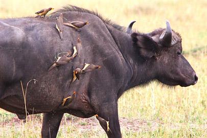 Fotoalbum von Malindi.info - 3 Tage Safari Maasai Mara 2017 [ Foto 89 von 104 ]