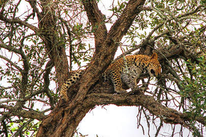 Fotoalbum von Malindi.info - 3 Tage Safari Maasai Mara 2017 [ Foto 94 von 104 ]