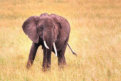 Fotoalbum von Malindi.info - 3 Tage Safari Maasai Mara 2017 [ Foto 100 von 104 ]