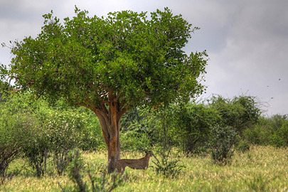 Fotoalbum von Malindi.info - 4 Tage Safari 2018 - Tsavo East, West & Amboseli[ Foto 8 von 102 ]