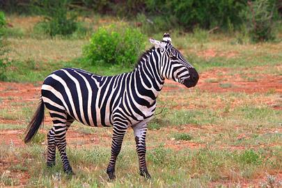Fotoalbum von Malindi.info - 4 Tage Safari 2018 - Tsavo East, West & Amboseli[ Foto 9 von 102 ]