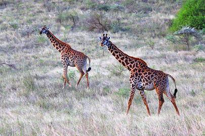 Fotoalbum von Malindi.info - 4 Tage Safari 2018 - Tsavo East, West & Amboseli[ Foto 16 von 102 ]
