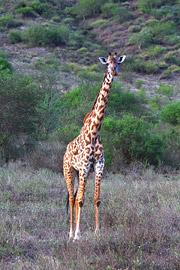Fotoalbum von Malindi.info - 4 Tage Safari 2018 - Tsavo East, West & Amboseli[ Foto 17 von 102 ]