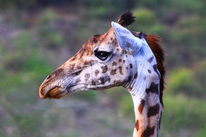Fotoalbum von Malindi.info - 4 Tage Safari 2018 - Tsavo East, West & Amboseli[ Foto 18 von 102 ]