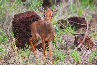 Fotoalbum von Malindi.info - 4 Tage Safari 2018 - Tsavo East, West & Amboseli[ Foto 23 von 102 ]