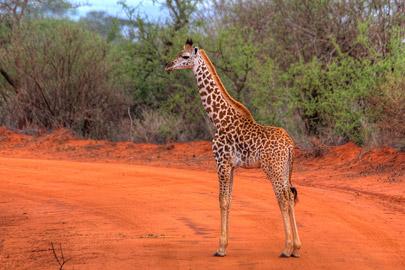 Fotoalbum von Malindi.info - 4 Tage Safari 2018 - Tsavo East, West & Amboseli[ Foto 29 von 102 ]