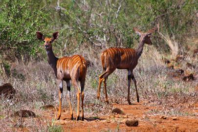 Fotoalbum von Malindi.info - 4 Tage Safari 2018 - Tsavo East, West & Amboseli[ Foto 33 von 102 ]
