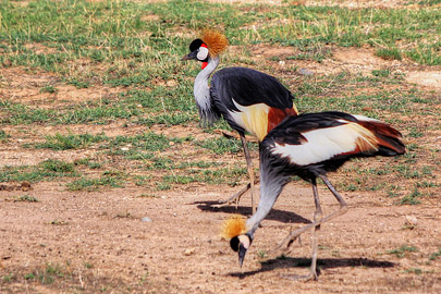 Fotoalbum von Malindi.info - 4 Tage Safari 2018 - Tsavo East, West & Amboseli[ Foto 73 von 102 ]