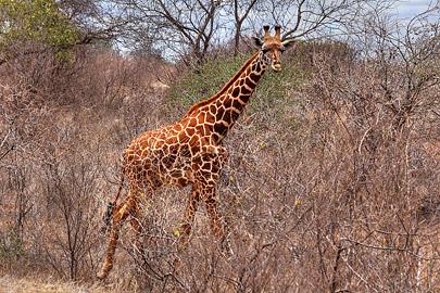 Fotoalbum von Malindi.info - Safari 2 Tage und 1 Nacht in Tsavo East 2019[ Foto 30 von 83 ]
