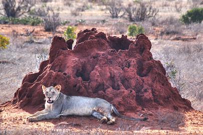 Fotoalbum von Malindi.info - Safari 2 Tage und 1 Nacht in Tsavo East 2019[ Foto 33 von 83 ]