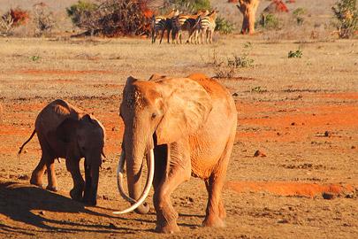 Fotoalbum von Malindi.info - Safari 2 Tage und 1 Nacht in Tsavo East 2019[ Foto 44 von 83 ]