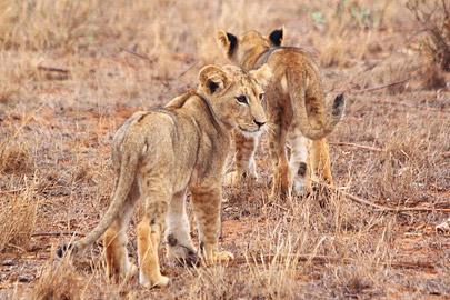 Fotoalbum von Malindi.info - Safari 2 Tage und 1 Nacht in Tsavo East 2019[ Foto 59 von 83 ]