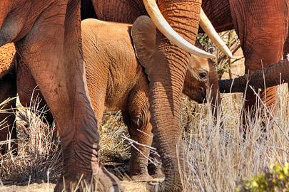 Fotoalbum von Malindi.info - Safari 2 Tage und 1 Nacht in Tsavo East 2019[ Foto 77 von 83 ]