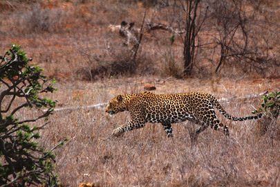 Fotoalbum von Malindi.info - Safari 2 Tage Tsavo East Oktober 2020[ Foto 9 von 84 ]