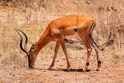 Fotoalbum von Malindi.info - Safari 2 Tage Tsavo East Oktober 2020[ Foto 16 von 84 ]