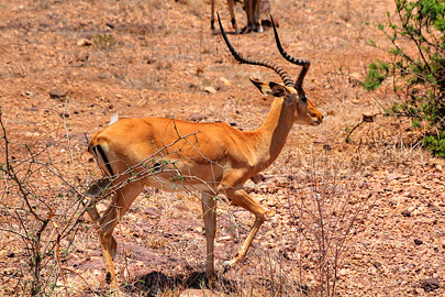 Fotoalbum von Malindi.info - Safari 2 Tage Tsavo East Oktober 2020[ Foto 17 von 84 ]