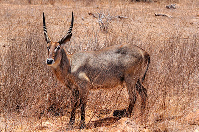 Fotoalbum von Malindi.info - Safari 2 Tage Tsavo East Oktober 2020[ Foto 18 von 84 ]