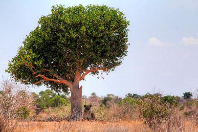 Fotoalbum von Malindi.info - Safari 2 Tage Tsavo East Oktober 2020[ Foto 22 von 84 ]
