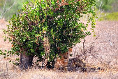 Fotoalbum von Malindi.info - Safari 2 Tage Tsavo East Oktober 2020[ Foto 23 von 84 ]