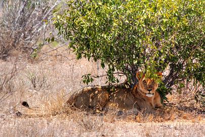 Fotoalbum von Malindi.info - Safari 2 Tage Tsavo East Oktober 2020[ Foto 25 von 84 ]