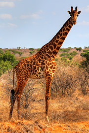 Fotoalbum von Malindi.info - Safari 2 Tage Tsavo East Oktober 2020[ Foto 34 von 84 ]