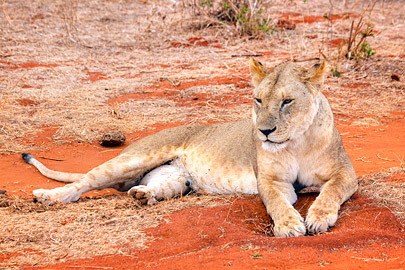 Fotoalbum von Malindi.info - Safari 2 Tage Tsavo East Oktober 2020[ Foto 41 von 84 ]