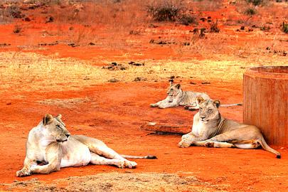 Fotoalbum von Malindi.info - Safari 2 Tage Tsavo East Oktober 2020[ Foto 42 von 84 ]