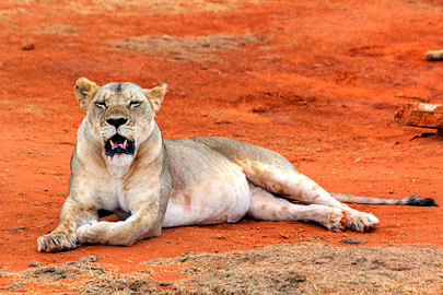 Fotoalbum von Malindi.info - Safari 2 Tage Tsavo East Oktober 2020[ Foto 43 von 84 ]