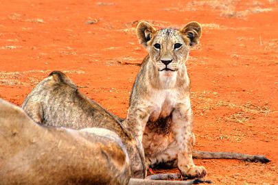 Fotoalbum von Malindi.info - Safari 2 Tage Tsavo East Oktober 2020[ Foto 45 von 84 ]