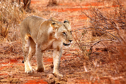Fotoalbum von Malindi.info - Safari 2 Tage Tsavo East Oktober 2020[ Foto 47 von 84 ]