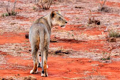 Fotoalbum von Malindi.info - Safari 2 Tage Tsavo East Oktober 2020[ Foto 49 von 84 ]